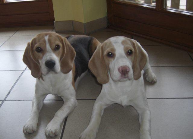 beagle bayern